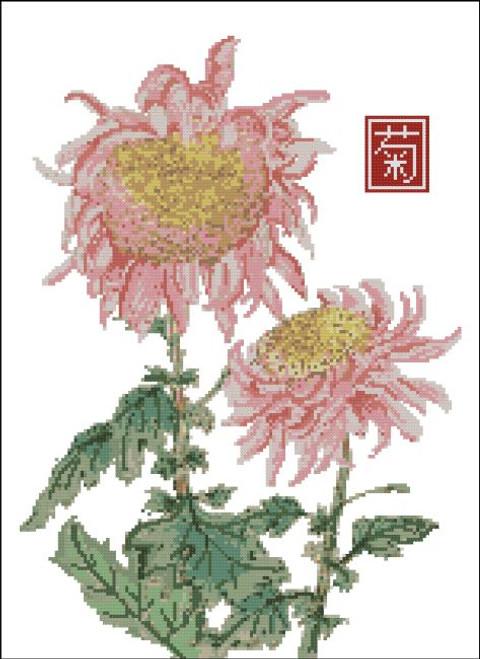 Japanese Chrysanthemum Pink