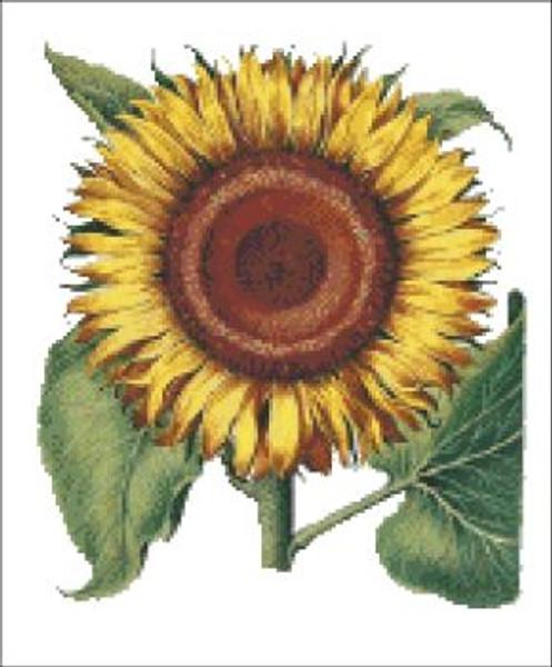 Sunflower - Besler