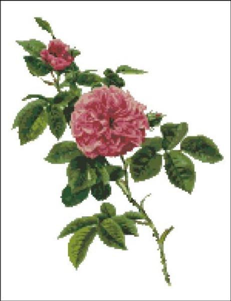 Rosa Centifolia Rose