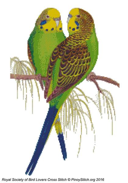 RSBL Parakeet Budgerigar