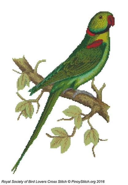 RSBL Parakeet Alexandrine