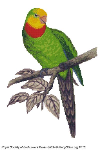 RSBL Parakeet Barrabands