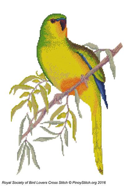 RSBL Parakeet Orange Bellied
