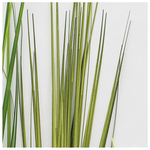 Unpotted Japanese Grass