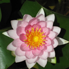 Nymphaea Madame Wilfron Gonnere - Pink Water Lily