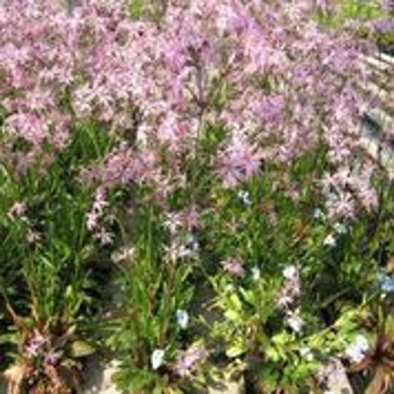 JUNCUS EFFUSUS MARGINAL Flowering Wildflower Rush in 9CM Pot