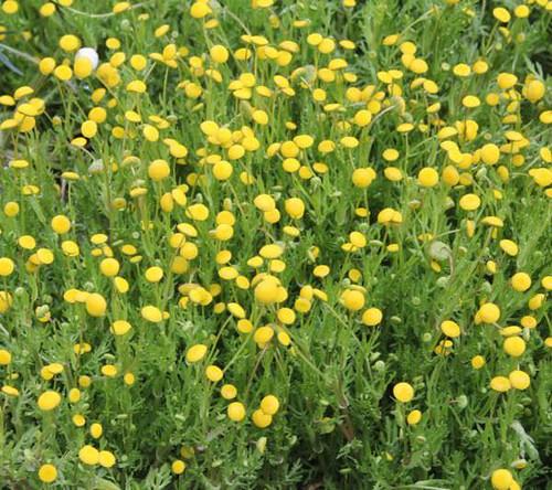 Cotula coronopifolia - Brass buttons