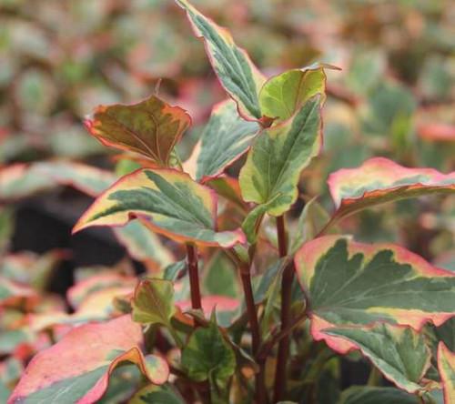 Houttuynia cordata `Chameleon' - Harlequin plant