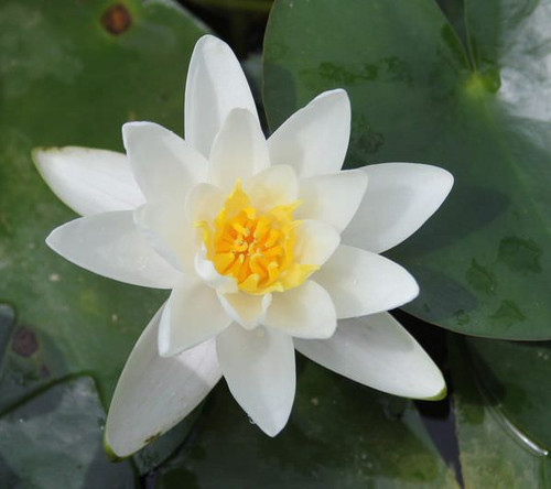 Nymphaea Albatross - White Water Lily