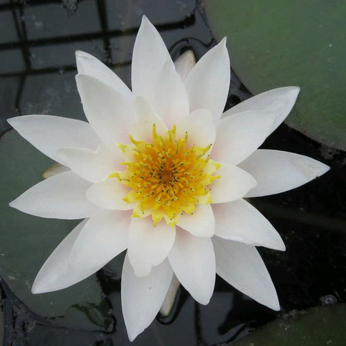 Nymphaea Gladstoniana - White Water Lily