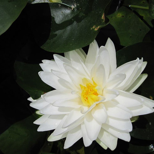Nymphaea Gonnere - White Water Lily