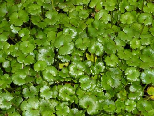 Hydrocotyle nova zealand - Miniature pennywort