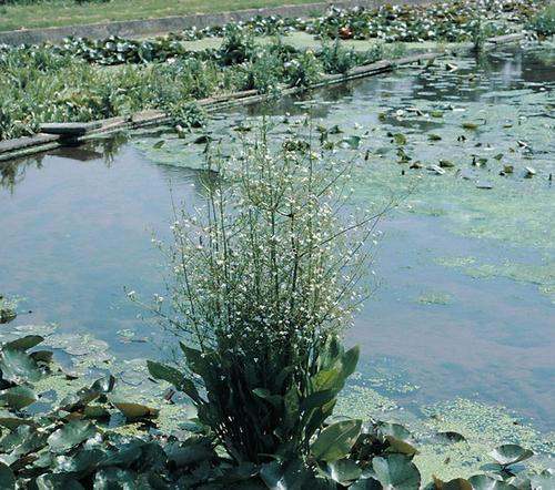 Alisma plantago aquaticum - Water plantain