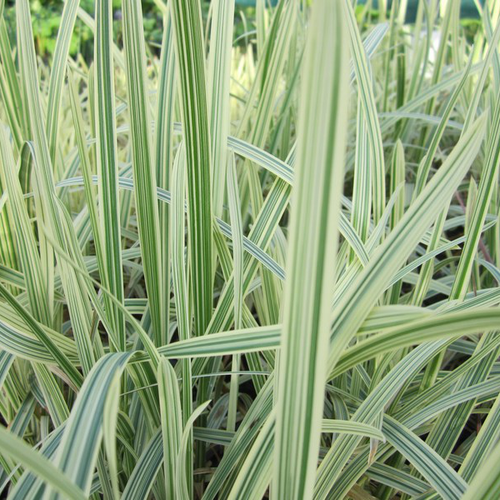 Glyceria maxima variegata - Variegated sweet grass