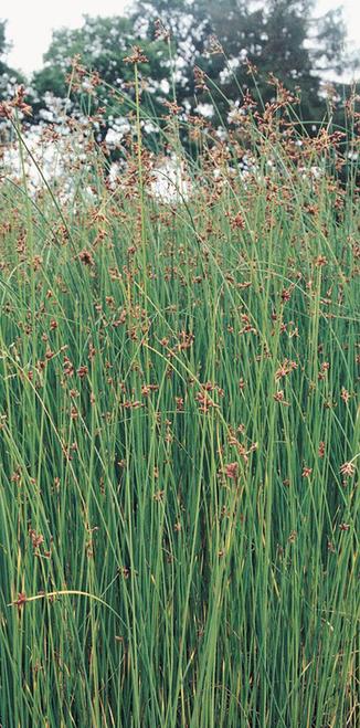 Scirpus lacustris - Clubrush