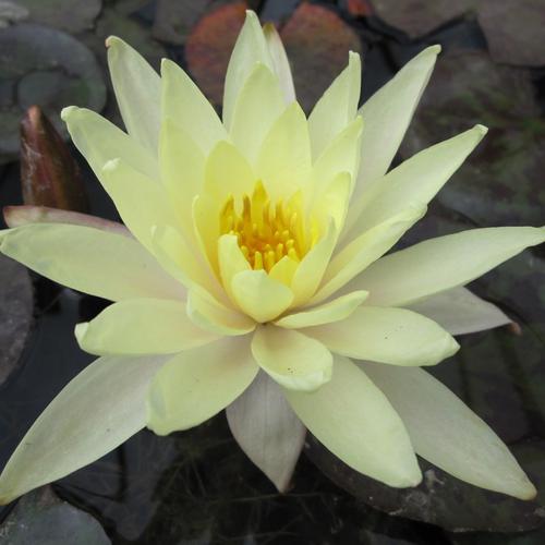 Nymphaea Odorata sulphurea - Yellow Water Lily