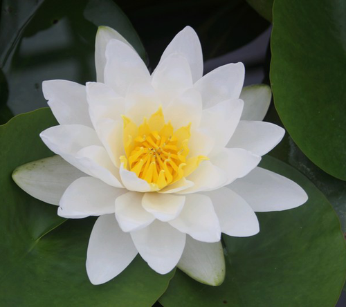 Nymphaea Virginalis - White Water Lily