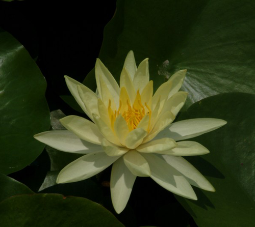 Nymphaea Yellow Sensation Water Lily
