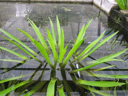 Stratiotes aloides - Water soldier Floating Pond Plant