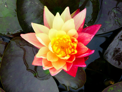 Nymphaea Wanvisa - Changeable Water Lily