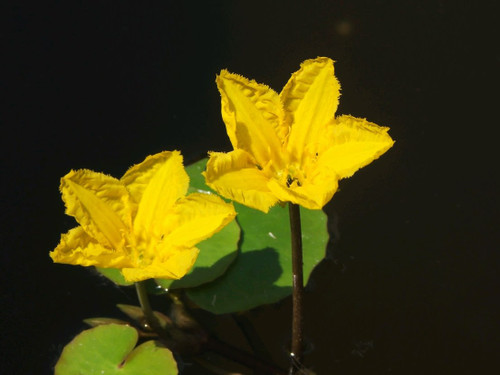 Nymphoides peltata - Fringed Water Lily