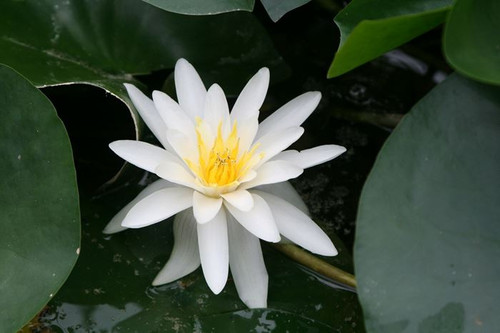 Nymphaea Marliacea Albida White Water Lily