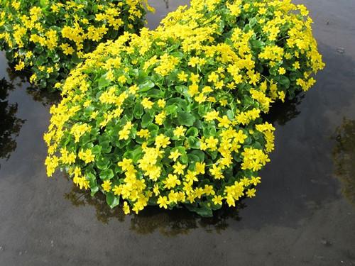 Caltha palustris - Marsh Marigold, Kingcup