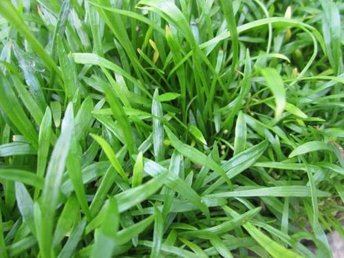 Lilaeopsis brasilensis  - Oxygenating Plant