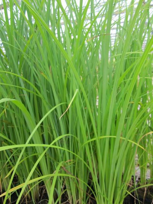 Carex acuta  - slender-tufted sedge