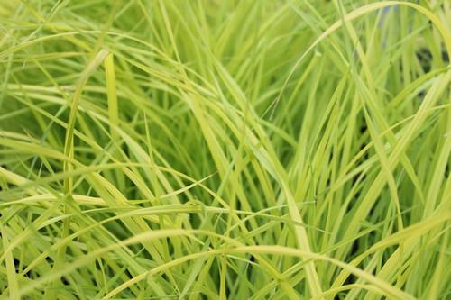 Carex elata 'Aurea'  - Golden sedge