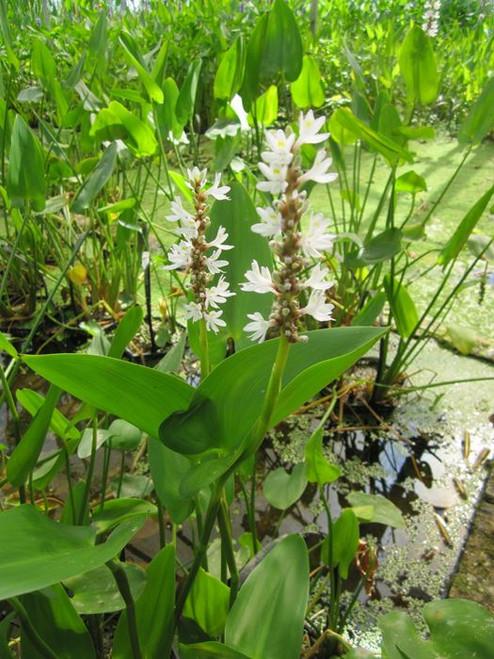 Pontederia cordata 'alba' - White pickerel weed