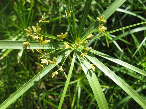 Cyperus alternifolius - Umbrella Palm