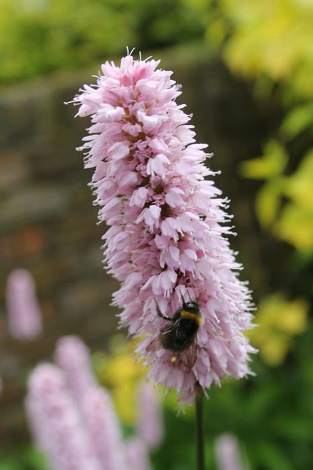 Persicaria bistorta - Adderwort
