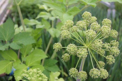 Angelica archangelica - angel's fishing rod