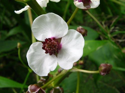 Sagittaria sagittifolia - Arrowhead