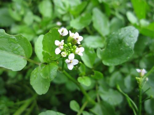 Rorripa nasturtium aquaticum  - Water Cress