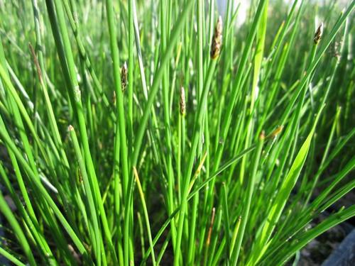 Eleocharis palustris - Common spike-rush