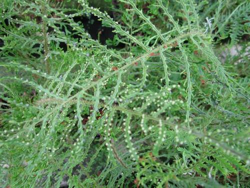 Dryopteris filix-mas 'Linearis' - Slender crested male fern