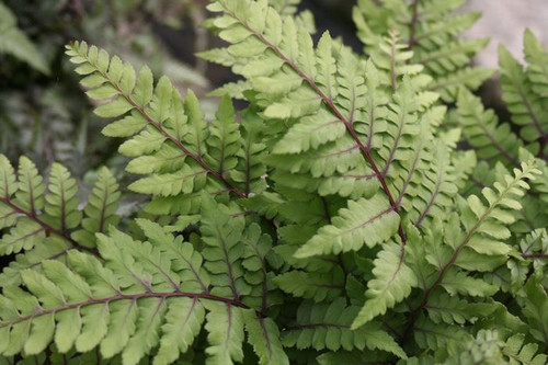 Athyrium otoph Okanum - Eared lady fern