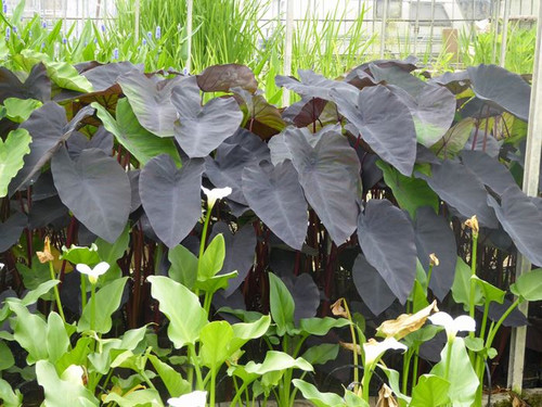 Colocasia Rubra Black Magic - Elephant Ear