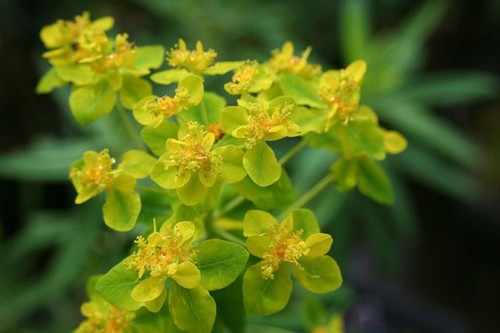Euphorbia palustris - Marsh spurge