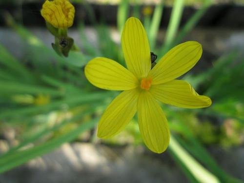 Sisyrinchium californicum - Yellow eyed grass