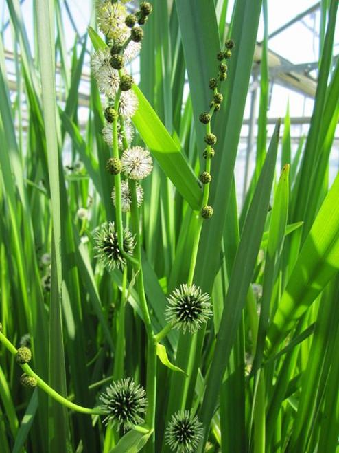 Sparganium erectum - Branched bur-reed