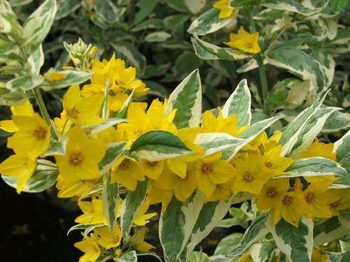 Lysimachia punctata 'Alexander' - Golden candles