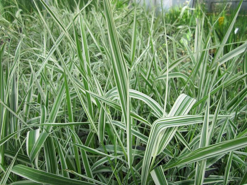 Phalaris arundinacea - Reed canary grass