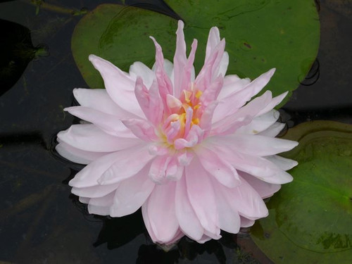Nymphaea Gloire de Temple Sur Lot Pink Water Lily