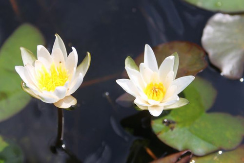 Nymphaea Snow Princess White Water Lily