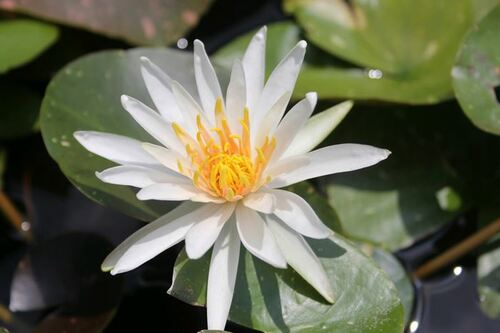 Nymphaea Arc-En-Ciel White Water Lily