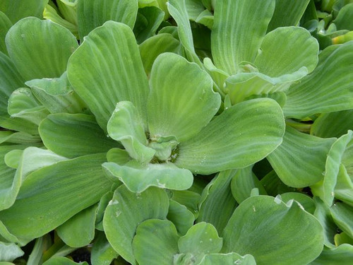 Pistia stratiotes - Water Lettuce Floating Pond Plant
