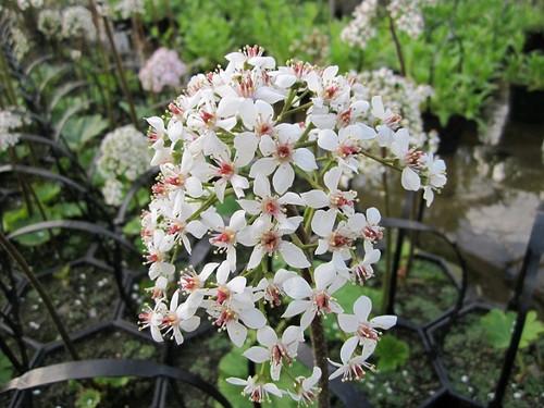 Darmera peltata - Peltiphyllum peltatum